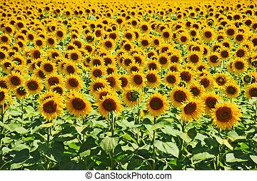 Sunflower Helianthus field - Beautiful landscape with...