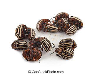 Colorado, escarabajos,