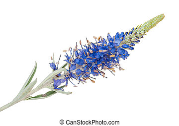 medicinal, plant:, Veronica, incana,