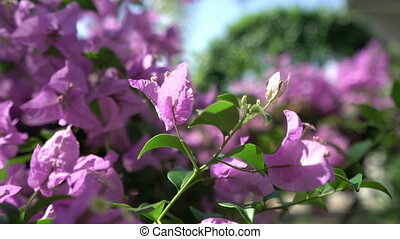 View of colorful bougainvillea sways in breeze - View of...