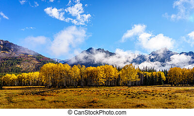 Deciduous Trees in the Rockies - Fall Colours of deciduous...
