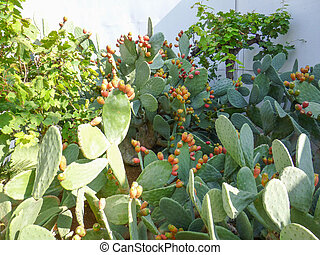 Cactus plant - Cactus Angiosperms Eudicots Caryophyllales...
