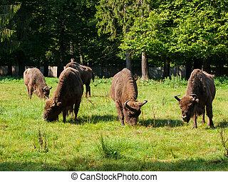 European bison herd in Bialowieza primeval forest, Poland...