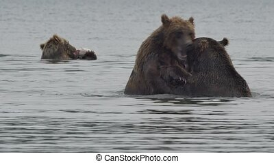 Two brown bears fighting. River. Summer.