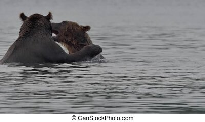 Two brown bears fighting River Summer