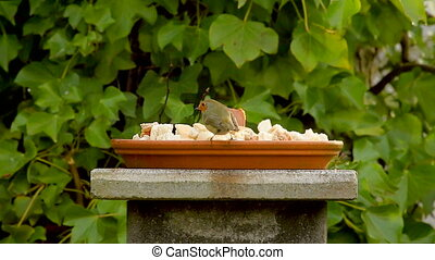 European robin, red little bird eat - European robin, little...