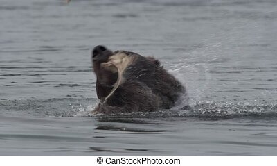 Grizzly Bear with salmon