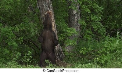 Brown bear relaxes rubbing his back northern Europe