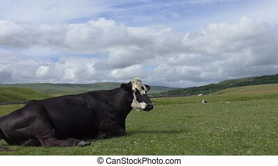 Black cow resting in highland - Black colour white head cow...