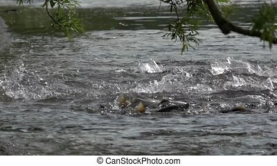 salmon goes on spawning
