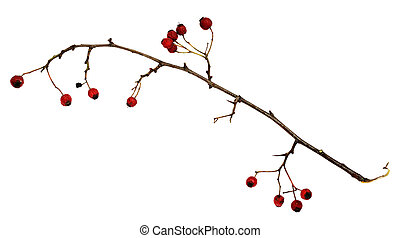 Dry twig with berries isolated on white