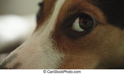 sad Jack Russell Terrier dog looking at the camera, shooting...