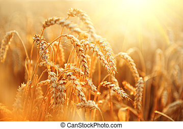 Wheat field. Ears of golden wheat closeup. Rural scenery...