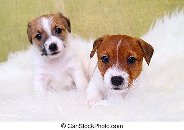 子犬, テリア,  russell, ジャッキ, 2