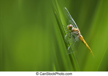 Dragon-fly - a dragon-fly sitting in reed