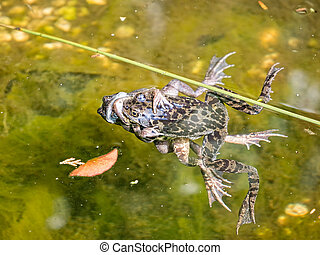 Three frogs entangled and mating in a pond