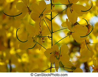 Cassia Fistula Flowers - A background of bright yellow...