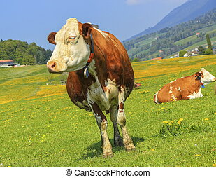 Fribourg cow resting, Switzerland - Famous brown and white...