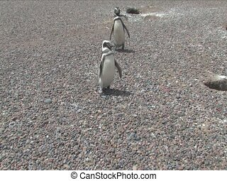 Magellan penguin from Punta Tombo Penguin Rookery, Punta...