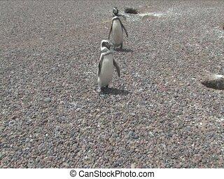 Magellan penguin from Punta Tombo Penguin Rookery, Punta...