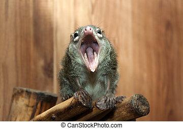 Tupaia glis tree shrew rodent animal fur squirrel