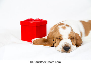 red gift box and basset hound puppy - adorable basset hound...