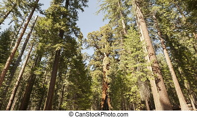 4K Time lapse zoom out Sequoia tourists - 4K Time lapse zoom...