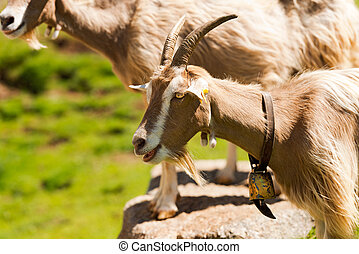 Mountain Goat with horns - Italy - Brown and white mountain...