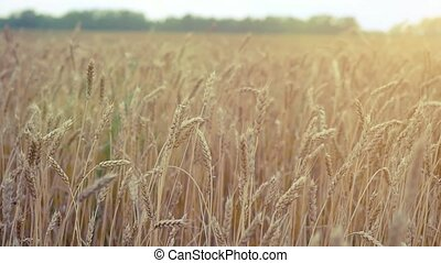 Wheat field Ears of golden wheat Rural Scenery under Shining...