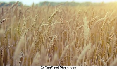 Wheat field. Ears of golden wheat. Rural Scenery under Shining Sunlight camera in slowmotion. 1920x1080