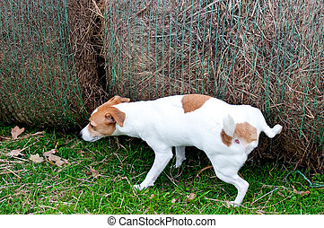 Jack Russell Terrier peeing on hay bale on a farm - Jack...