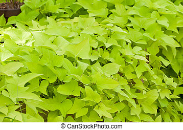 Green sweet potato vines - Lime green potato vines in a...