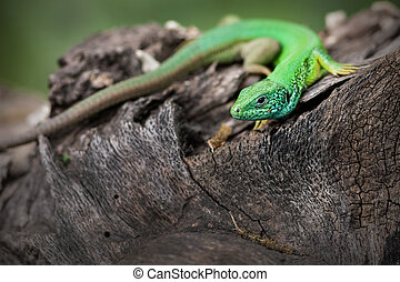 Lizard is on a tree stump. - The green lizard is on a tree...