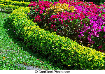 bougainvillea flower - Green grass with purple and red...
