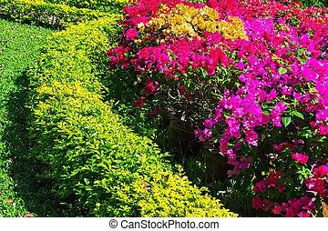 bougainvillea flower - Green yellow tree with purple and red...