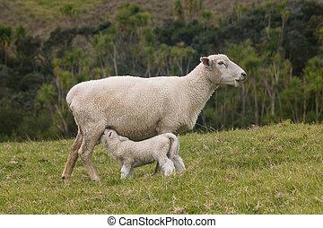 oveja, alimentación, cordero,