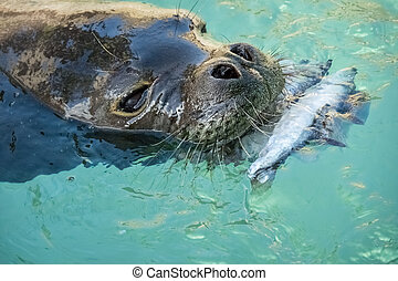 Hawaiian Monk Seal - Rare Hawaiian monk seal playing and...