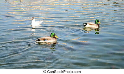 mallard (wild duck) swimming on water in sunny day, weather...