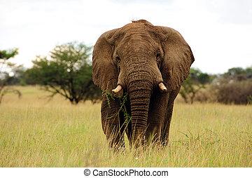 elefant, savanne