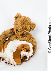 Teddy bear comforts sleeping puppy - eight week old basset...