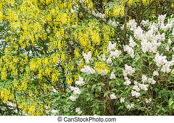 Beautiful blooming bushes on a sunny day in May - White and...