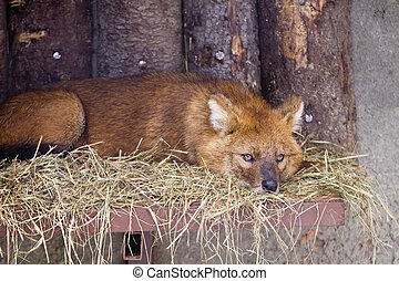 Dhole - Asian wild dog lying on straw in a zoo