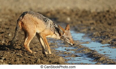 Black-backed jackal drinking - A black-backed jackal (Canis...