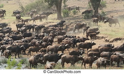 African buffalo herd - Large herd of African buffaloes...