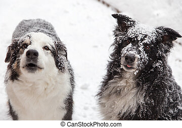 Snow covered dogs - dogs outside in winter covered in snow....