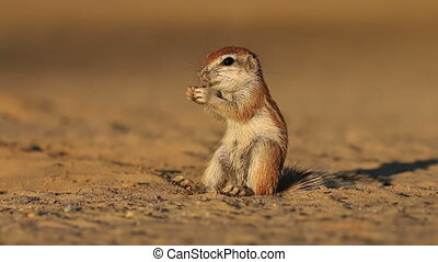 Feeding ground squirrel