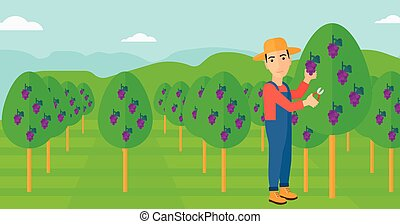 Farmer collecting grapes. - A man harvesting grapes in...