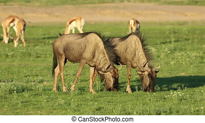 Grazing blue wildebeest - Blue wildebeest (Connochaetes...