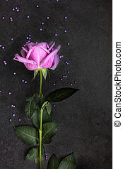 Purple rose on dark background, top view
