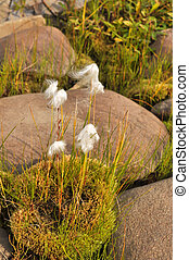Cottongrass is a plant of Taimyr. Clumps of cotton-grass...